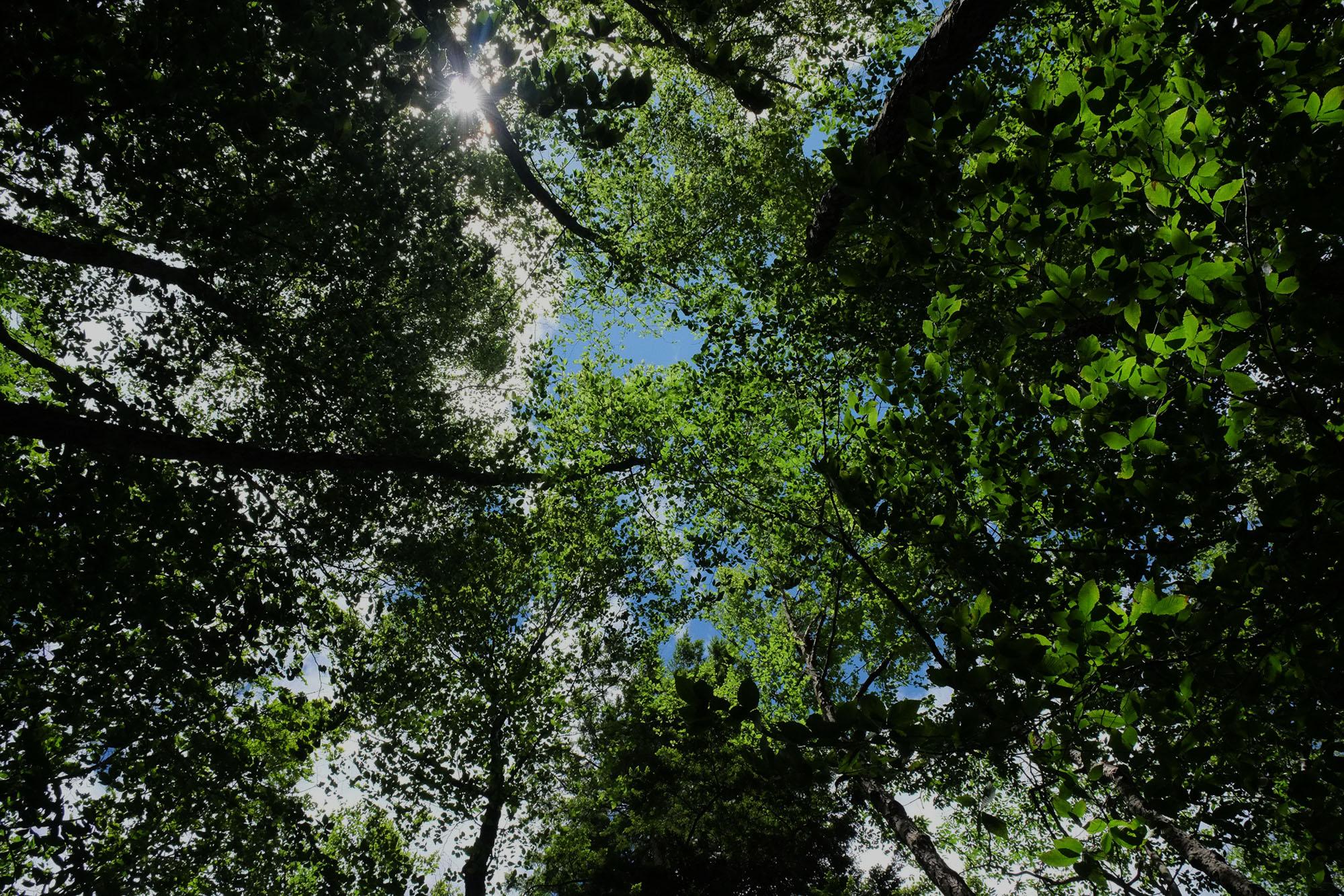 treetops / COVID